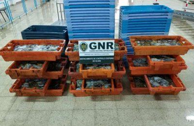 GNR apreendeu mais de 300 kilos de Polvo em Olhão