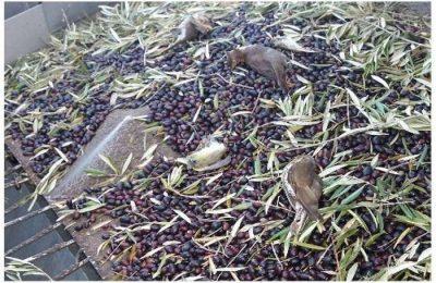 Apanha mecanizada de azeitona mata milhares de aves
