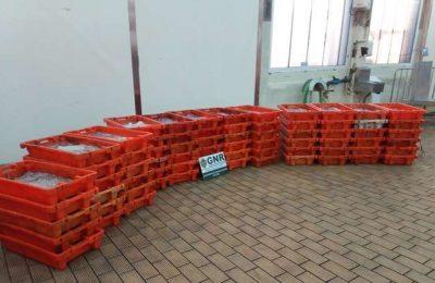 GNR de Olhão apreendeu 918 kilos de Polvo por fuga à luta