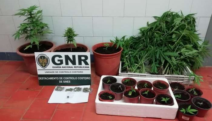 GNR apreende plantação de cannabis em Aljezur