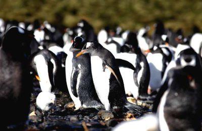 Microplásticos encontrados em pinguins na Antártida