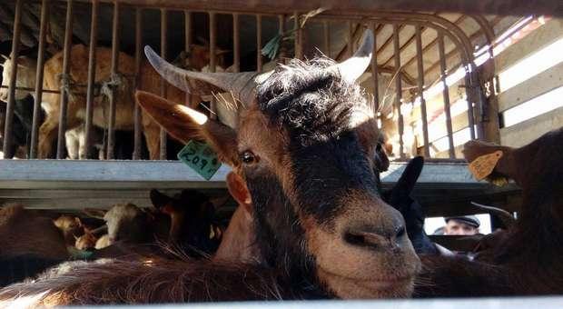 Associação entrega animais a pastores afetados pelos incêndios