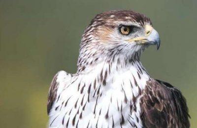 Águia Perdigueira em destaque no Festival de Observação de Aves