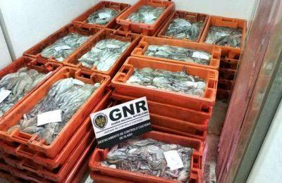 GNR de Olhão apreendeu mil quilos de polvo por fuga à lota