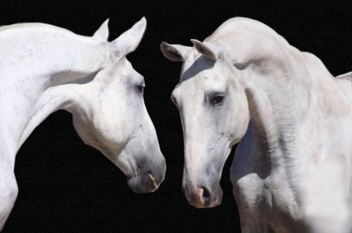 Nove Cavalos Lusitanos no Europeu de Dressage