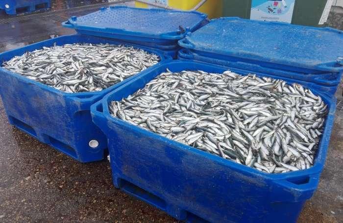 Apreendidas 3.100 Kgs de sardinha por fuga à Lota