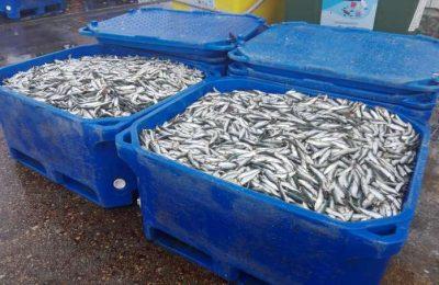 Toneladas de sardinha apreendida pela GNR