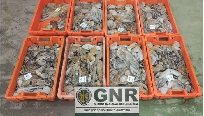 GNR apreende polvo juvenil e bivalves em fuga à lota
