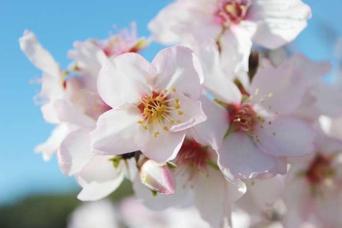 Festival das Amendoeiras em Flor no Alta Mora