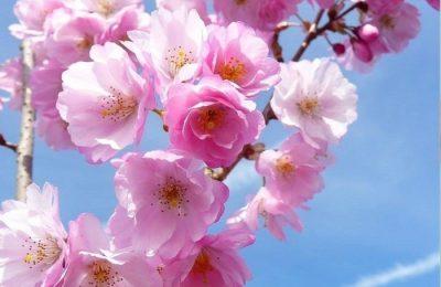 Viagem às Cerejeiras em Flor na Serra da Gardunha