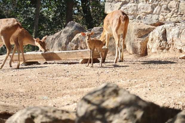 Veados da Birmânia nascidos no Jardim Zoológico