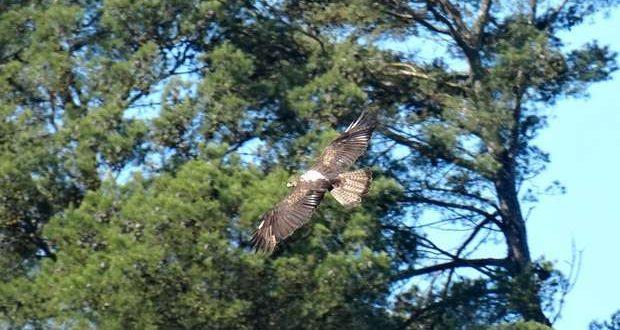 Proteção das Águias ameaçadas na Grande Lisboa