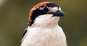 1 em cada 5 aves em risco de extinção na Europa